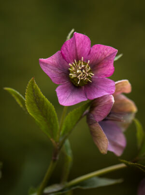 Julros Helleborus Orientalis, Pink lady