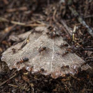 Kyrkbyåsen Myror På Stacken 20200401
