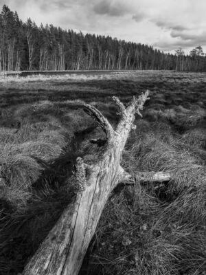 Laggarsjön Torrfura Svartvit 30x40 Lågupplöst