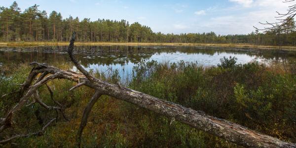 Lilla Björknarssjön C Torrfura Vid Sjön Ramnäs 20200923