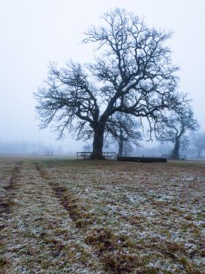Strömsholm Ek i dimma