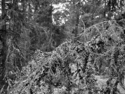 Vecka 10 - Stensjöberget Lavabeväxt gran